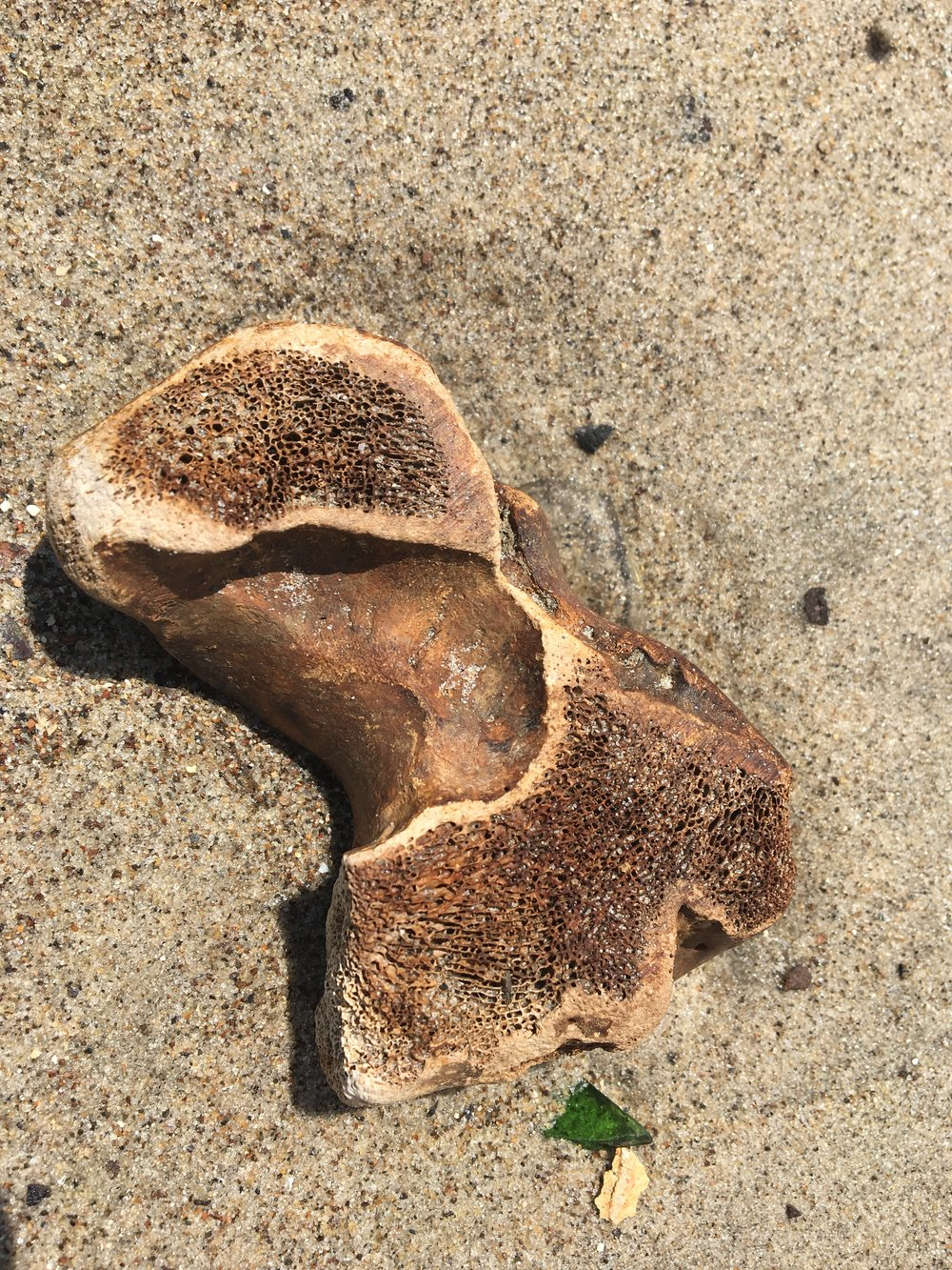 Likely a horse bone found buried in the sand.