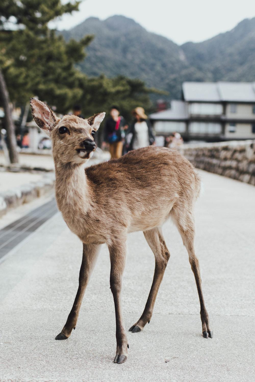 deer-miyajima-japan-photos-by-samantha-look.jpg