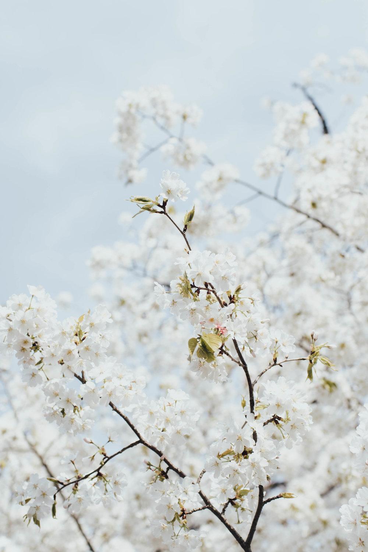 cherry-blossoms-japan-photos-by-samantha-look.jpg