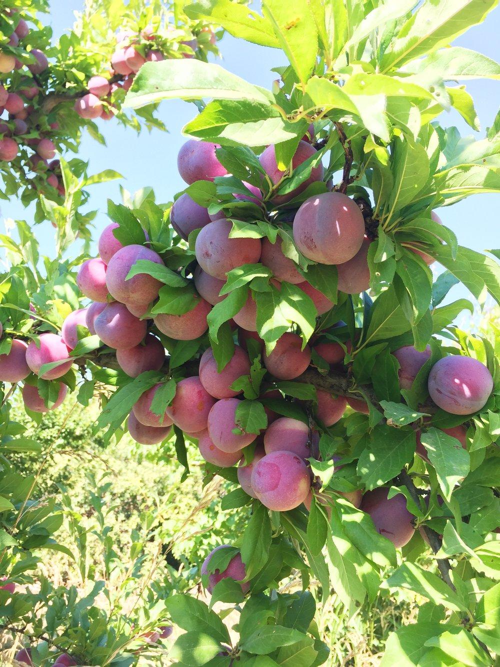 organic-farm-hanford-photos-by-samantha-look.JPG