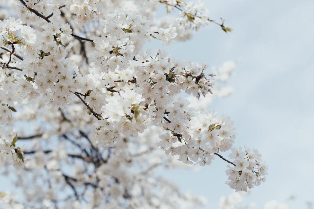 sakura-osaka-japan-photo-by-samantha-look..jpg