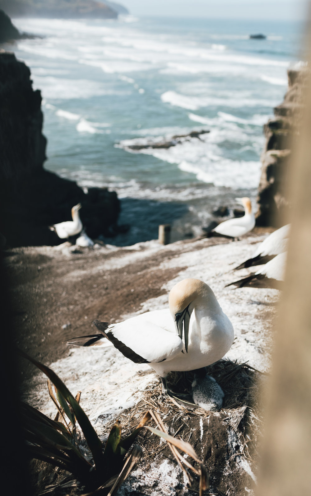 new-zealand-gannet-colony-photo-by-samantha-look.jpg