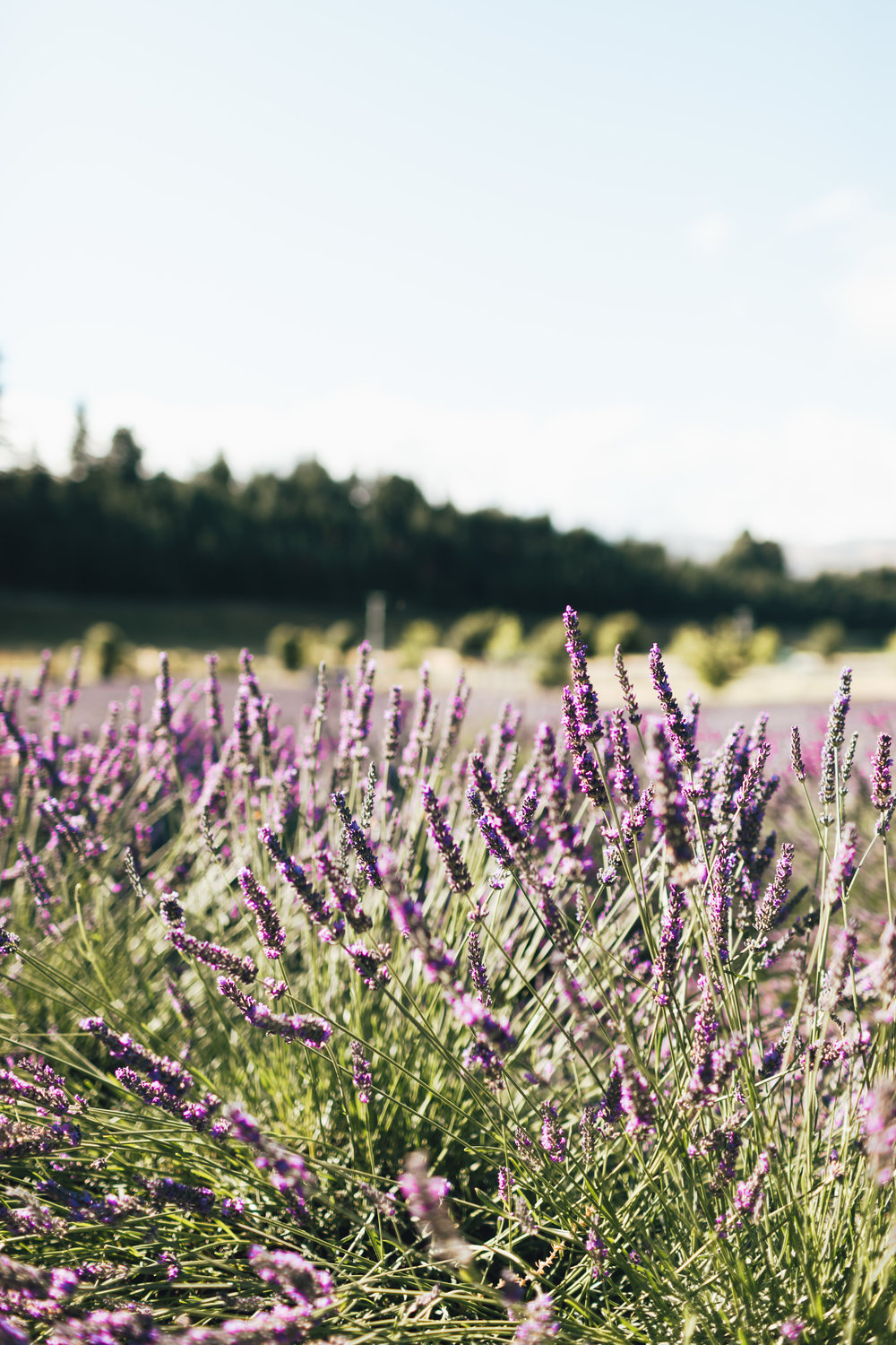 new-zealand-wanaka-lavender-farm-photo-by-samantha-look.jpg