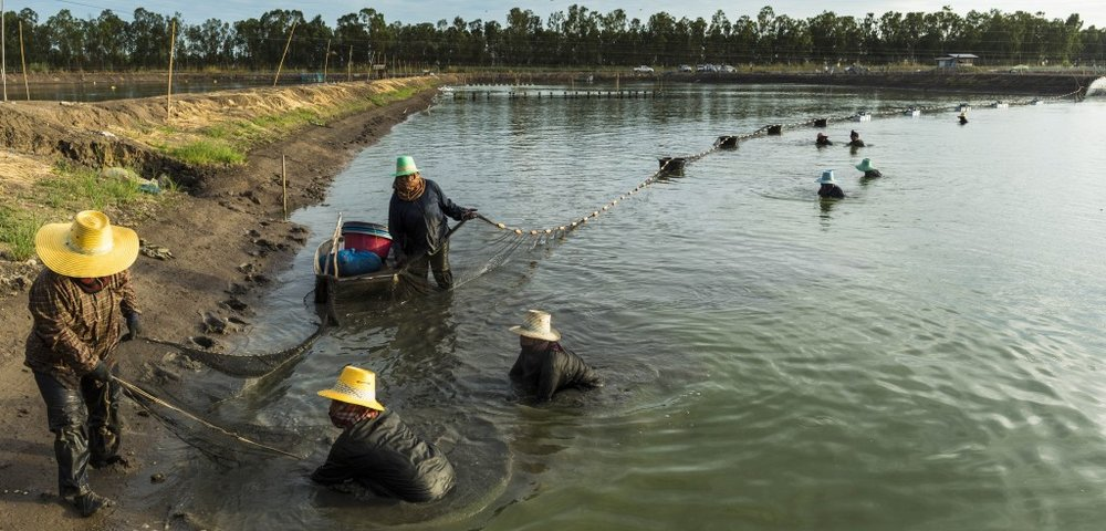 A hope for Thailand's shrimp farms