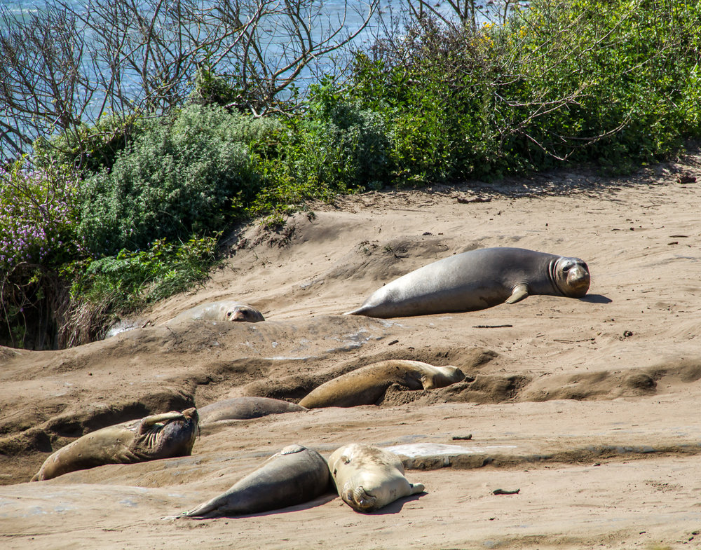 I want to chill on the beach like these elephant seals... with a cup of tea in my hand!