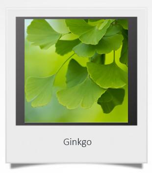 Ginkgo 1.jpg
