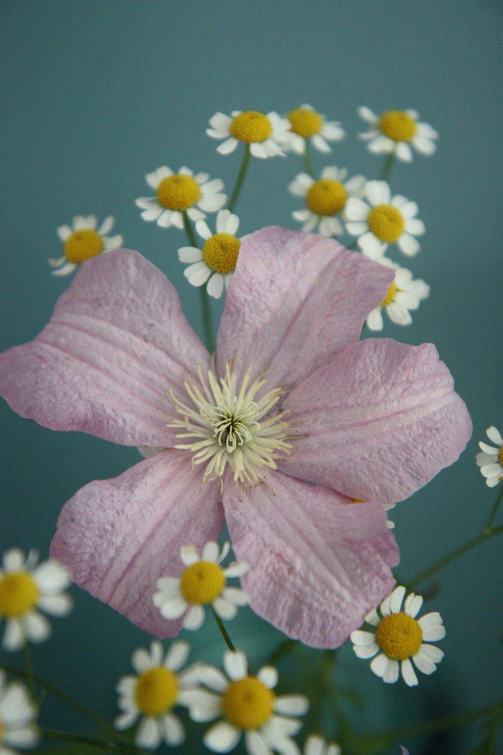 clematis and feverfew.jpg
