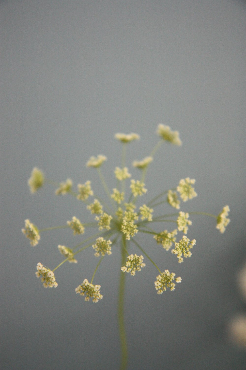 cowparsley1.jpg
