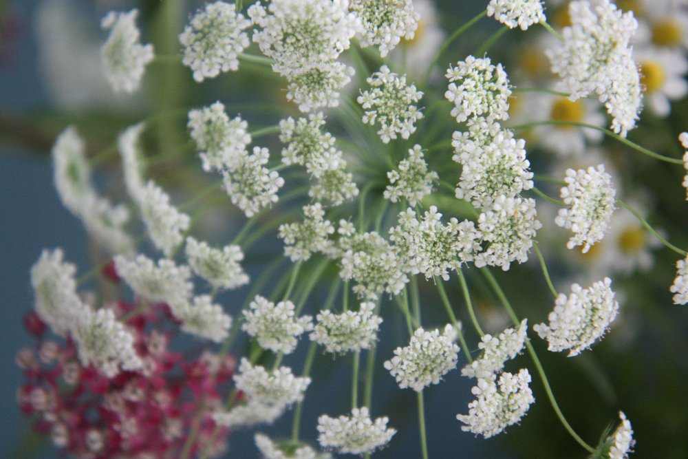 cowparsley2.jpg