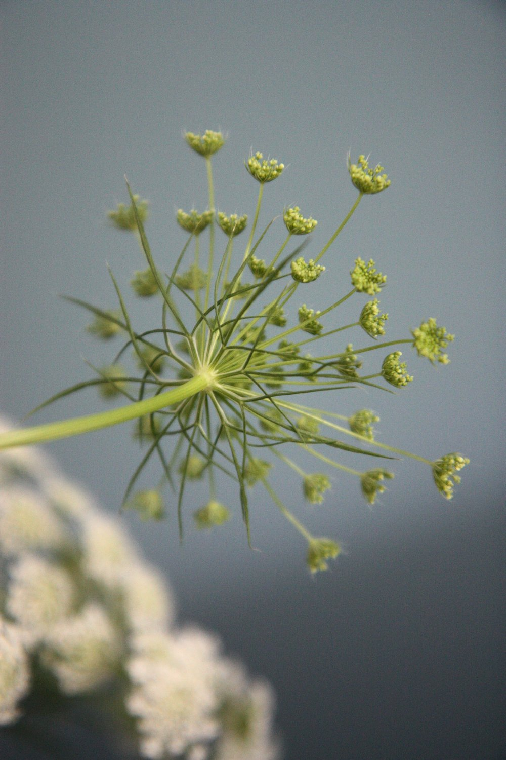 cowparsley5.jpg