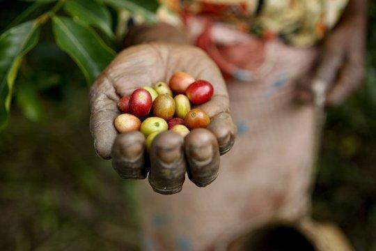 kaffefrukter