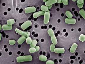 Lactobacillusbrevis
