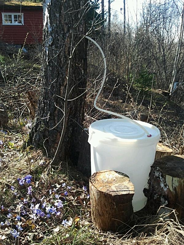 """Bilde er fra 2012 da jeg var i gang med tapping og fermentering av bjørkesevje. Det er bra å vite at en voksen bjørk kan suge opp 400 liter vann i døgnet. Det har aldri blitt noe problem med de trærne jeg har tappet fra. Men det er hyggelig å """"spørre"""" treet om lov til å tappe. Litt kommunikasjon med naturlige elementer er bare fint :-)"""