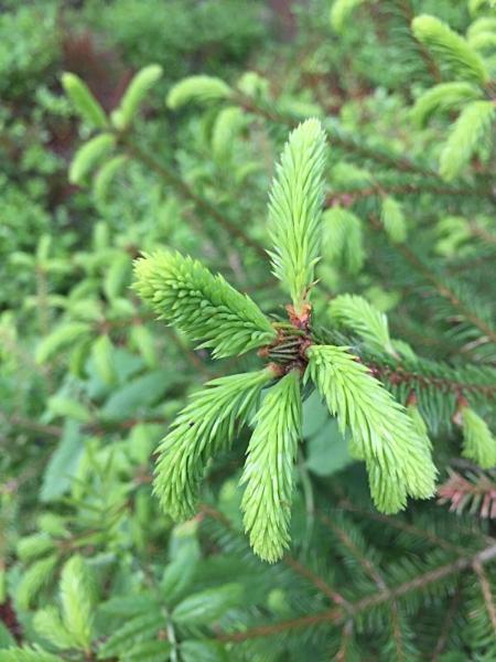 Granskuddene plukkes når de er ganske små og lys grønne. Pass på å plukke fra mange forskjellige trær slik at du ikke påvirker hvert tre for mye. Plukker du en beskjeden mengde og passer på å ikke ta mye av ett tre, vil dette knapt kunne skade. Men innhent tillatelse fra grunneier hvis du er i innmark.Unngå selvsagt plantefelt (der kan trærne dessuten være sprøytet med giften roundup/glyfosat). Friluftsloven gir oss rett til å sanke det meste i norsk utmark. Vi må likevel huske at allemannsretten bare gjelder så lenge vi opptrer hensynsfullt og varsomt.