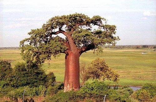 """Baobab - kalles også """"Livets tre"""""""