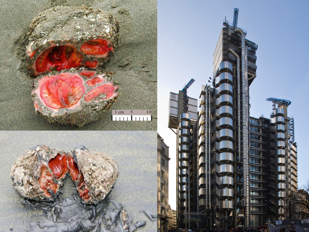 Figs. 1 & 2: Pyura Chilensis; Fig. 3: Lloyds of London.