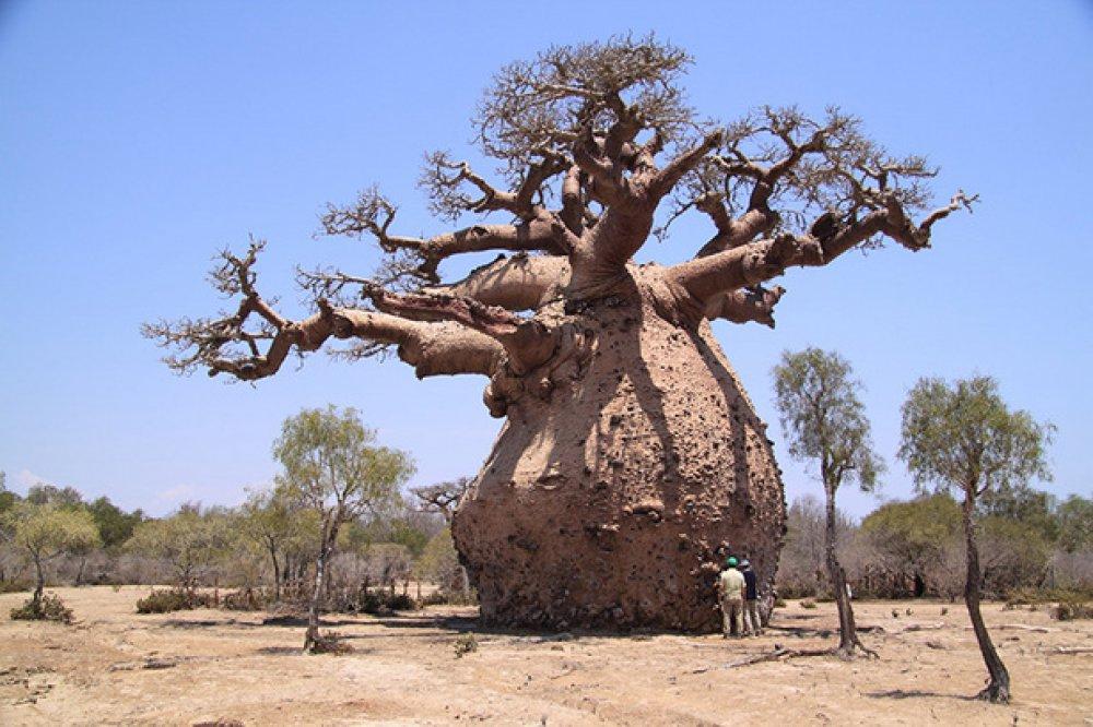 An African Baobab