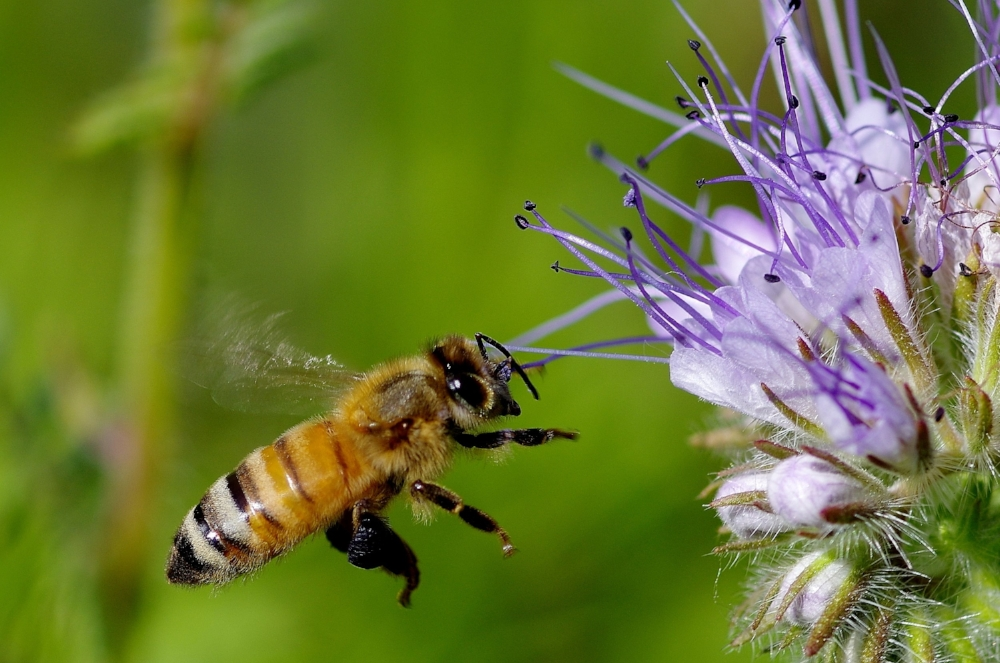 blk pollen.jpg