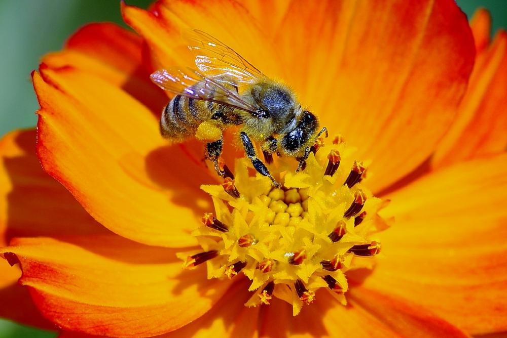 bee pollen (2).jpg