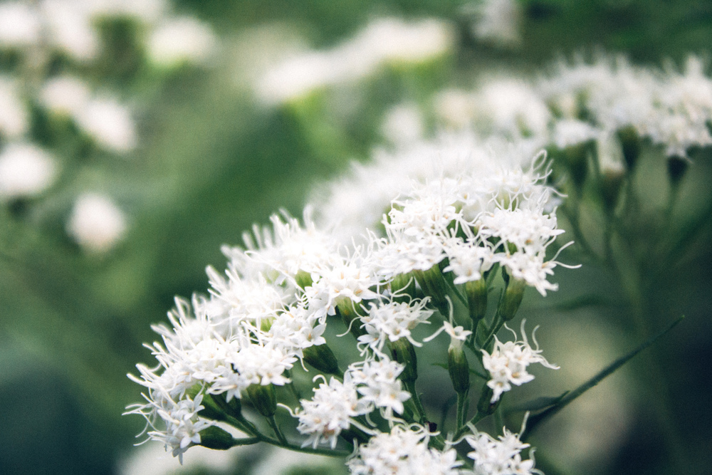Ageratina altissima // White Snake Root