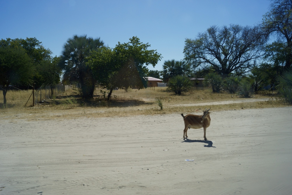 A goat in the road