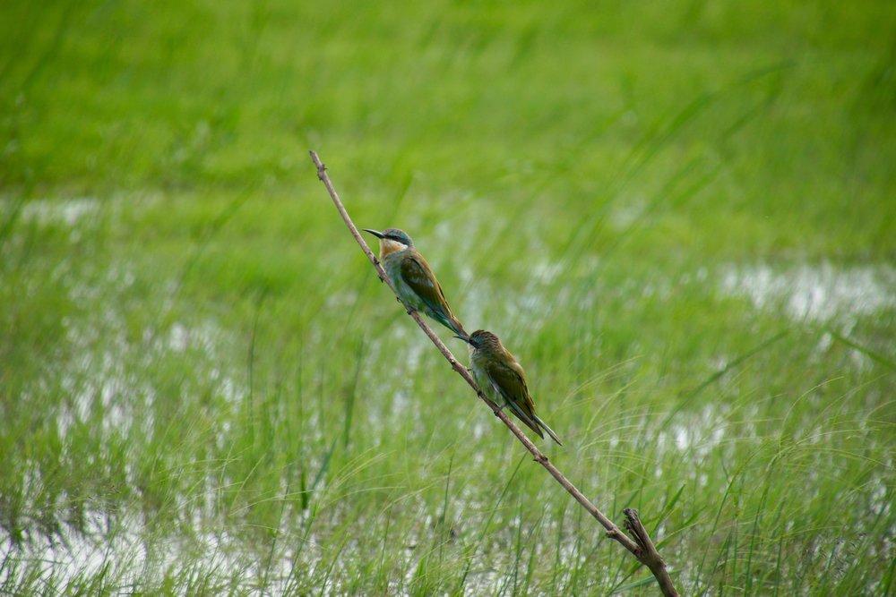 Bee-eater Birds
