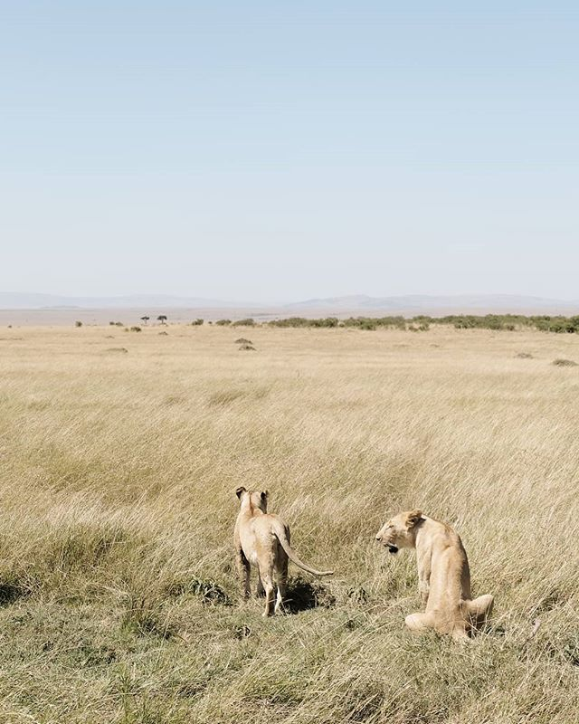 Just a couple of lions randomly sitting a couple of meters from our car...