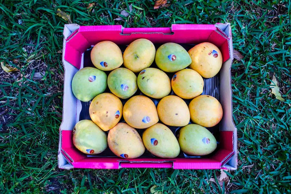 A tray of mangos. I dried 12 of these.
