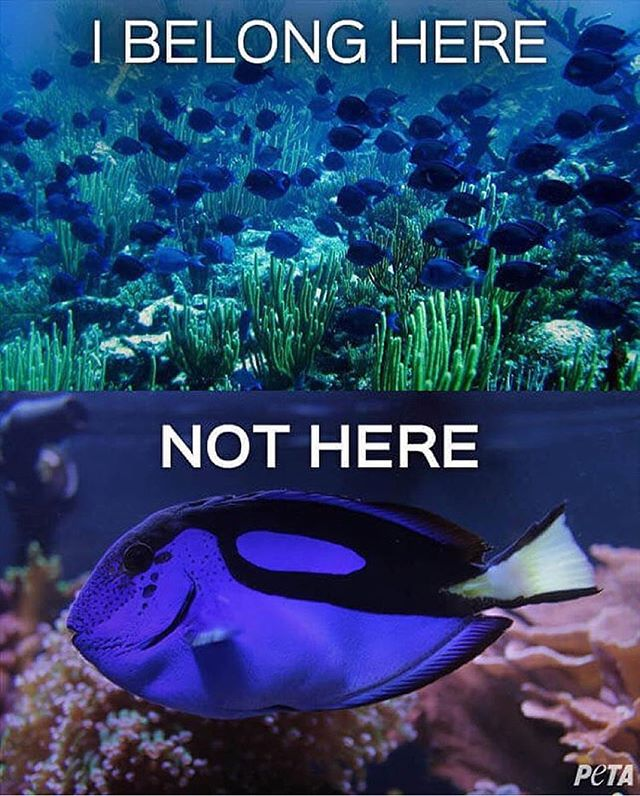 "While we all love ""Finding Nemo"" and are so excited to see ""Finding Dory,"" it's important to remember that Dory and all her friends belong in the ocean, not in our tanks. This repost from @racingextinction is just a friendly reminder NOT to buy wild-caught fish as pets for home aquariums! Their home is in the ocean! @pixarfindingdory"