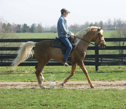 Gaited morgan horse