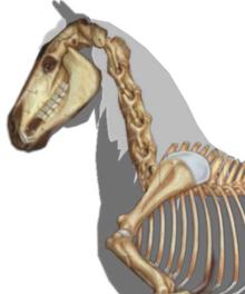 Gaited horse skeleton