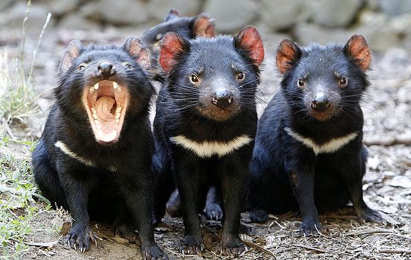 Tasmanian demons