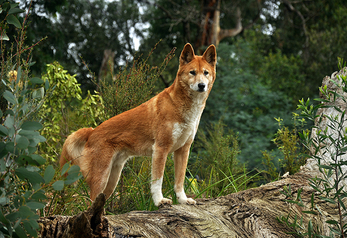 Dingo, wild dog