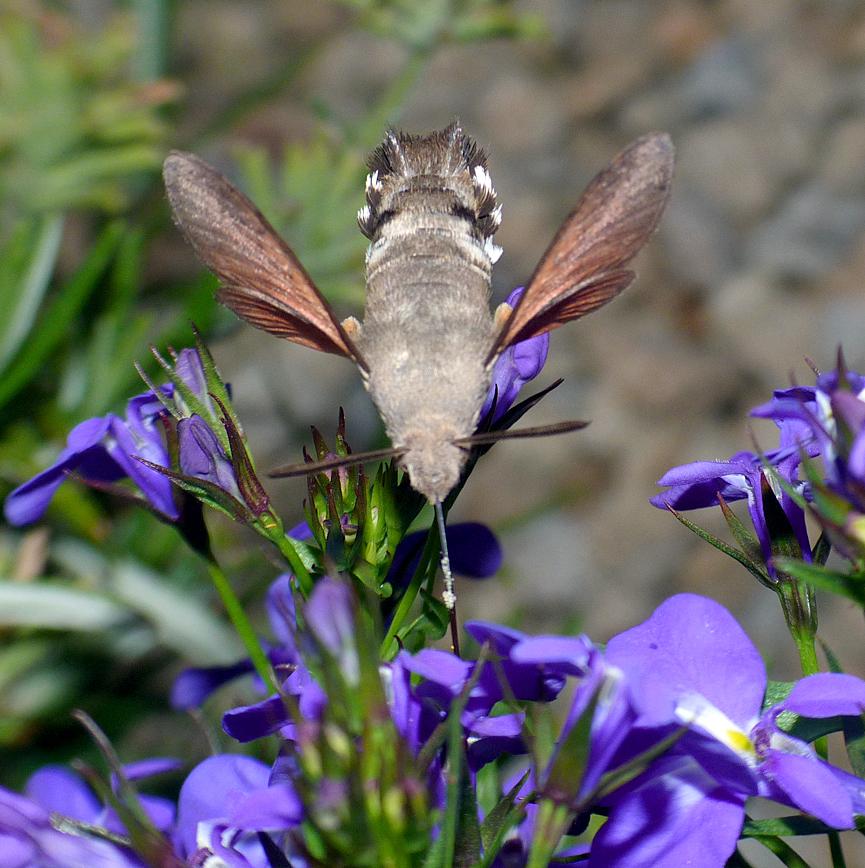 hummingbird hawk-moth in the garden in july