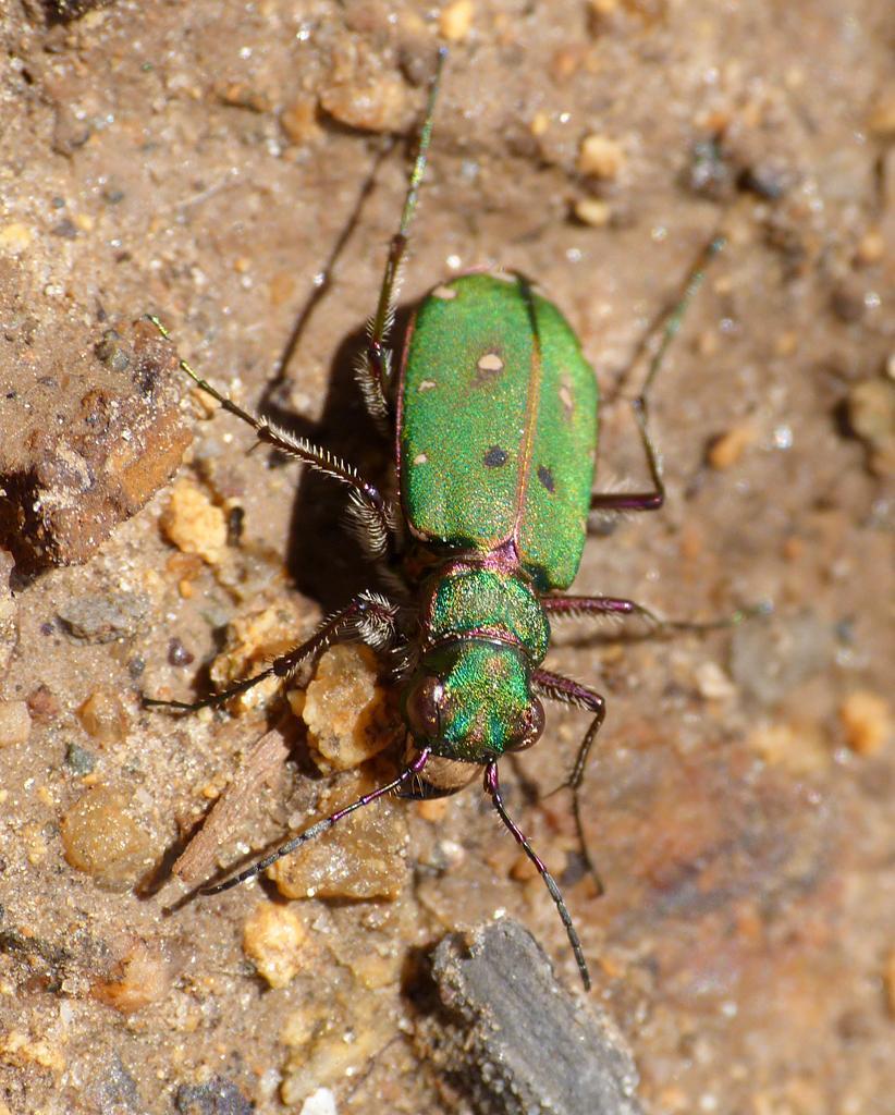 green tiger beetle  - fort hommet - 31 mar 2016