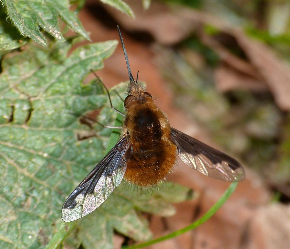 Dark-edged Bee-fly  - Hatfield Forest - my main target species today, easily ticked off.