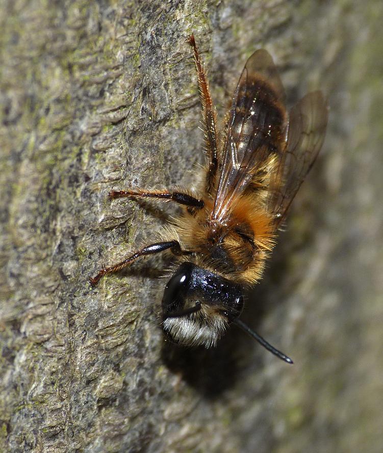 Andrena sp - Hatfield Forest