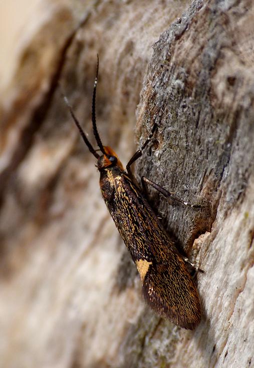 Esperia sulphurella - Hatfield Forest
