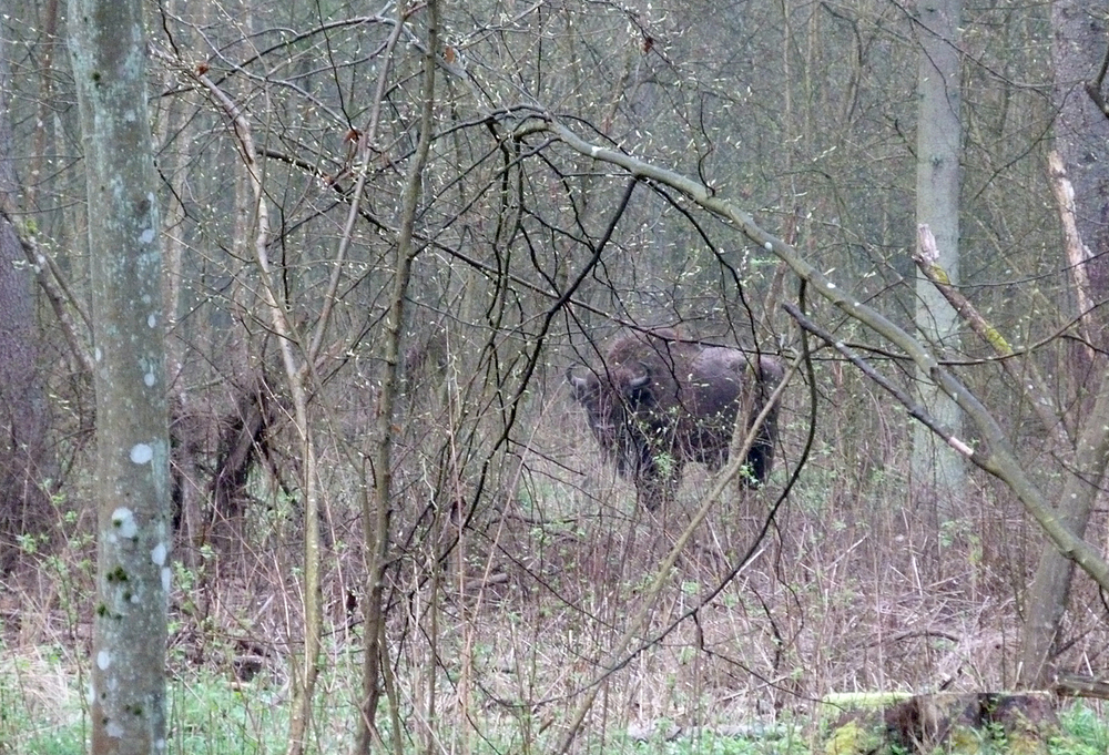 Bison  - Bialowieza Forest