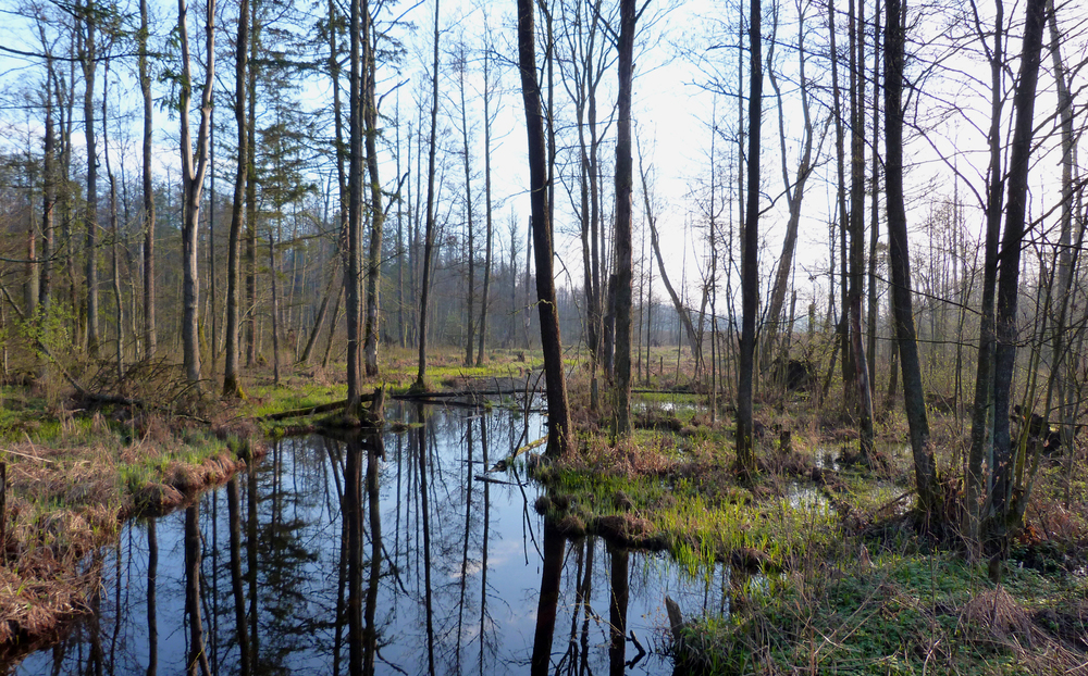 White-backed Woodpecker habitat in the swampy areas of the forest.