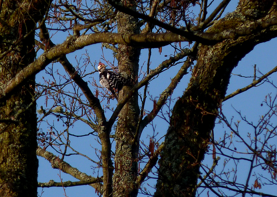 White-backed Woodpecker , Bialowieza Forest