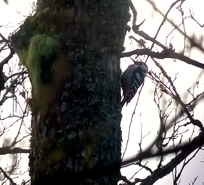 White-backed Woodpecker, Bialowieza Forest (phonescoped)