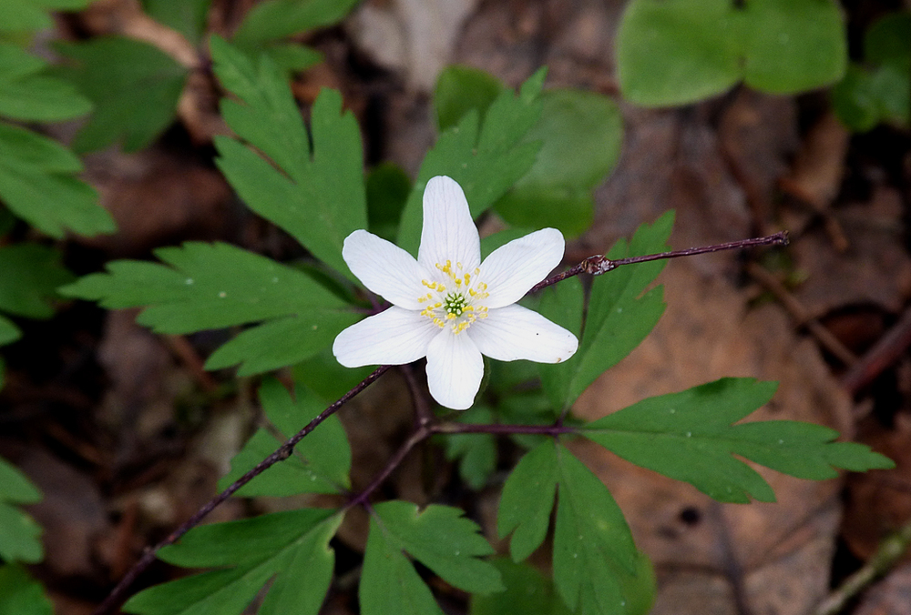 Wood Anenome  - millions upon millions of these flowers carpeted the whole forest.