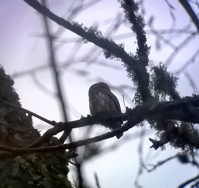 Pygmy Owl , Bialowieza - I was amazed that I managed to get any pics using the phone through the scope - there was not one of my photos where it was facing in my direction.