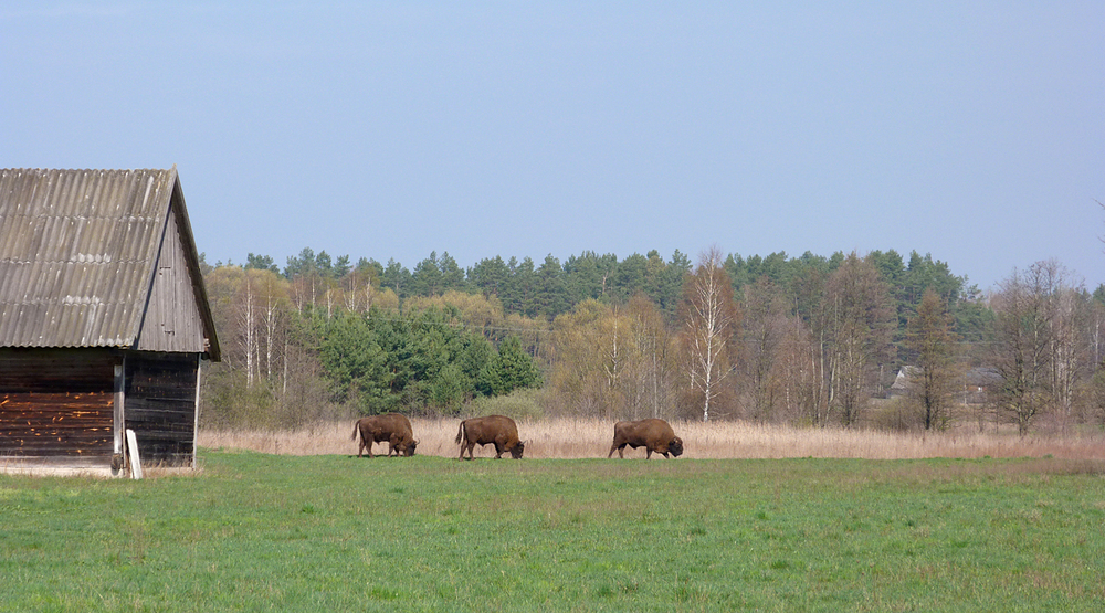 European Bison  - just north of bialowieza forest.