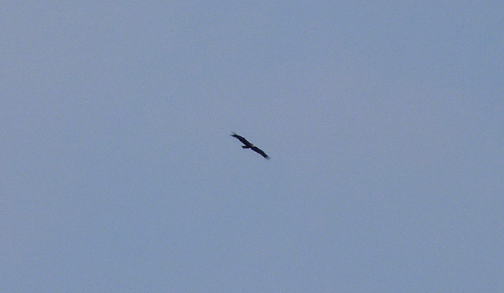 GREATER Spotted Eagle , Siemanowka Reservoir.