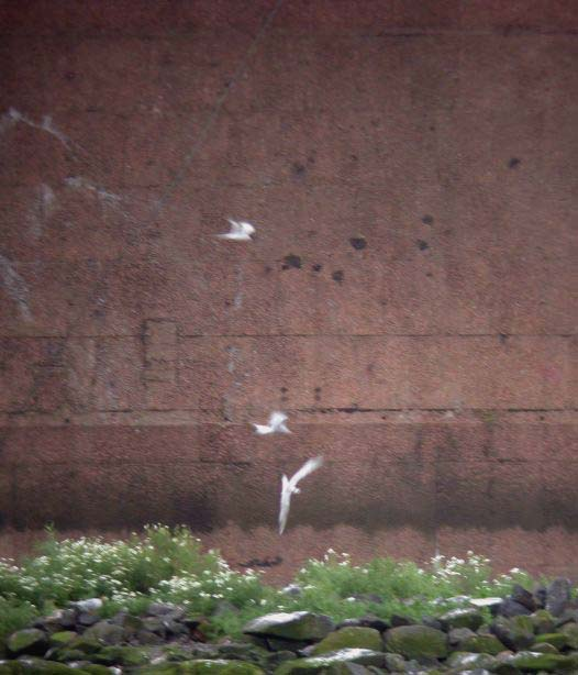 WORLD'S POOREST  ROSEATE TERN  PIC (TOP BIRD)