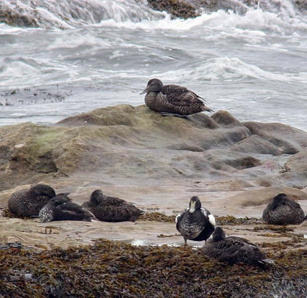 EIDERS  - ST. ANDREWS