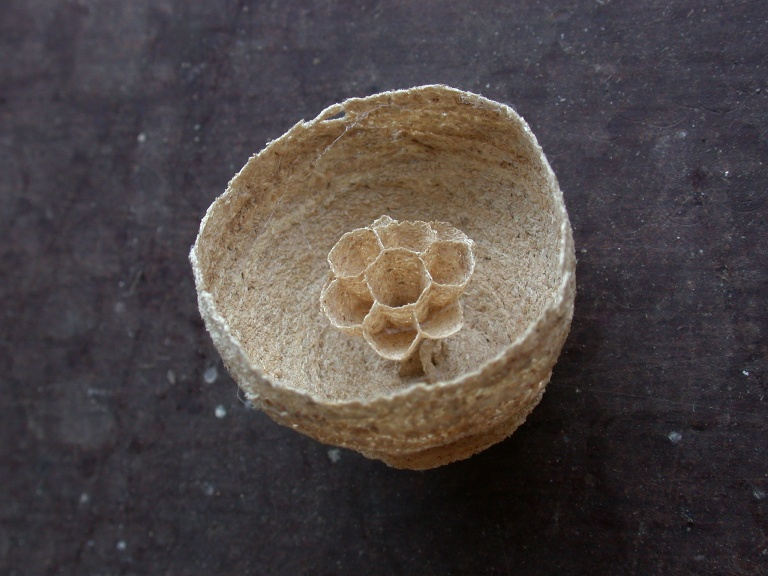 EARLY WASP NEST