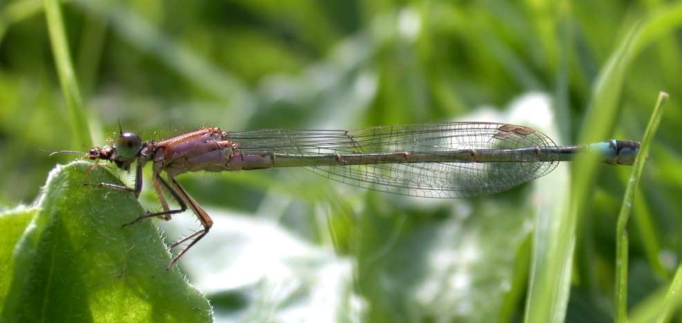 BLUE-TAILED DAMSELFLY IN THE GARDEN